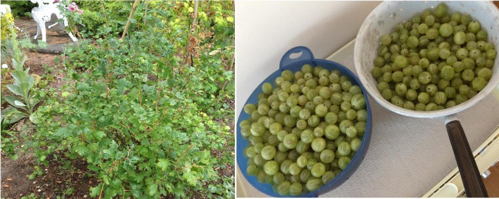 8 lessons from gooseberry picking!